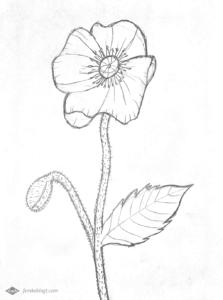 31 Dagen bloemen | Proces tekening klaproos