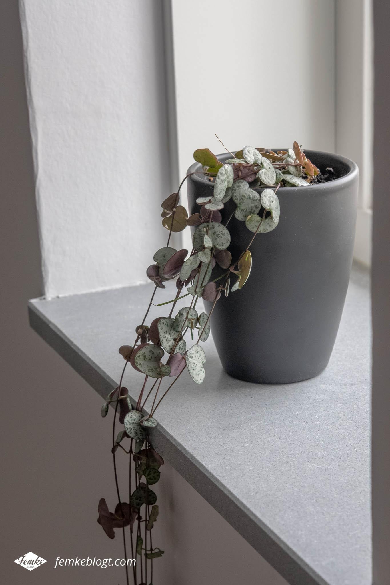 Hangplanten in huis - Ceropegia Woodii (Chinees lantaarnplantje)