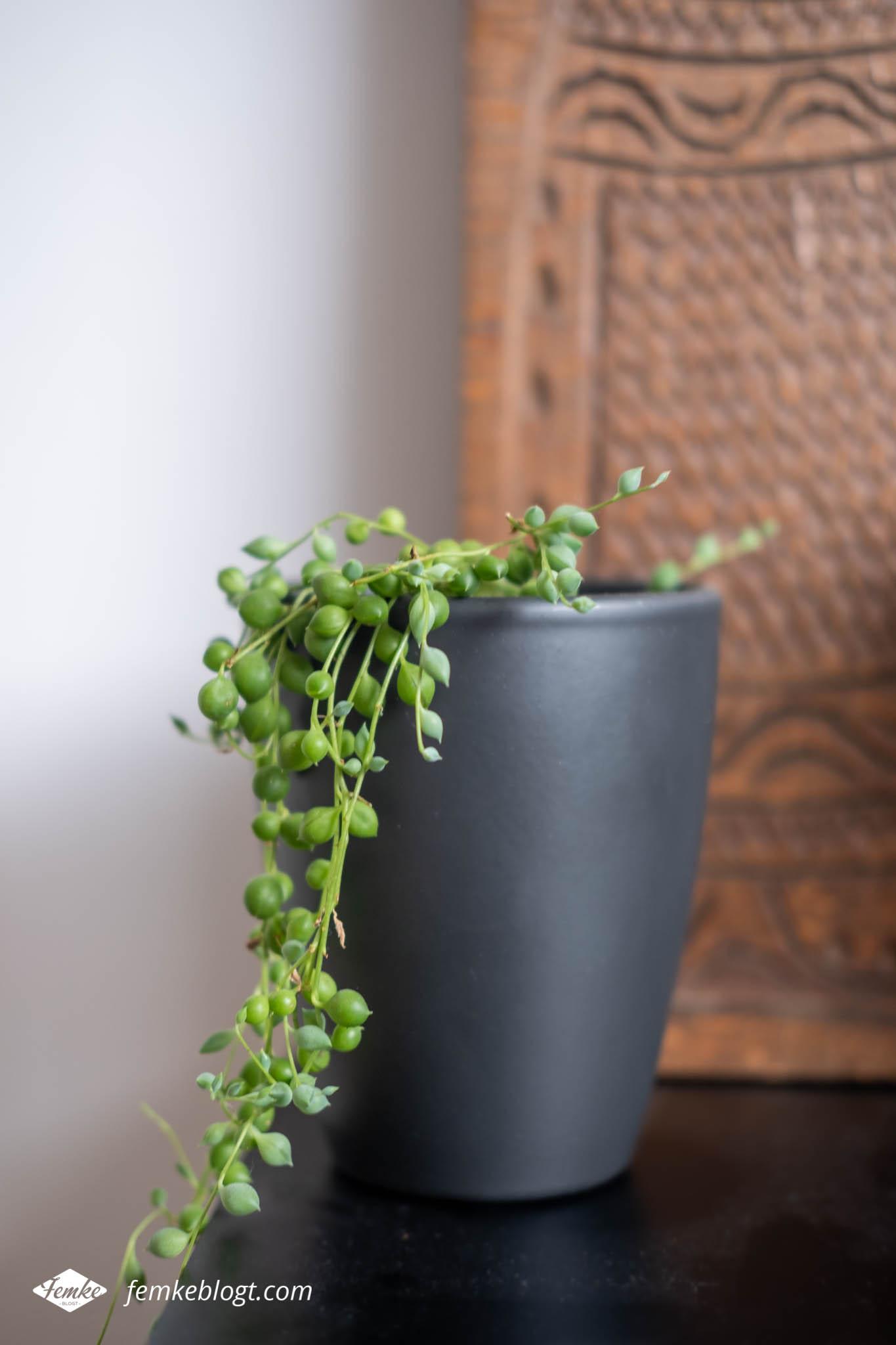 Hangplanten in huis - Senecio Rwoleyanus (erwtenplantje)