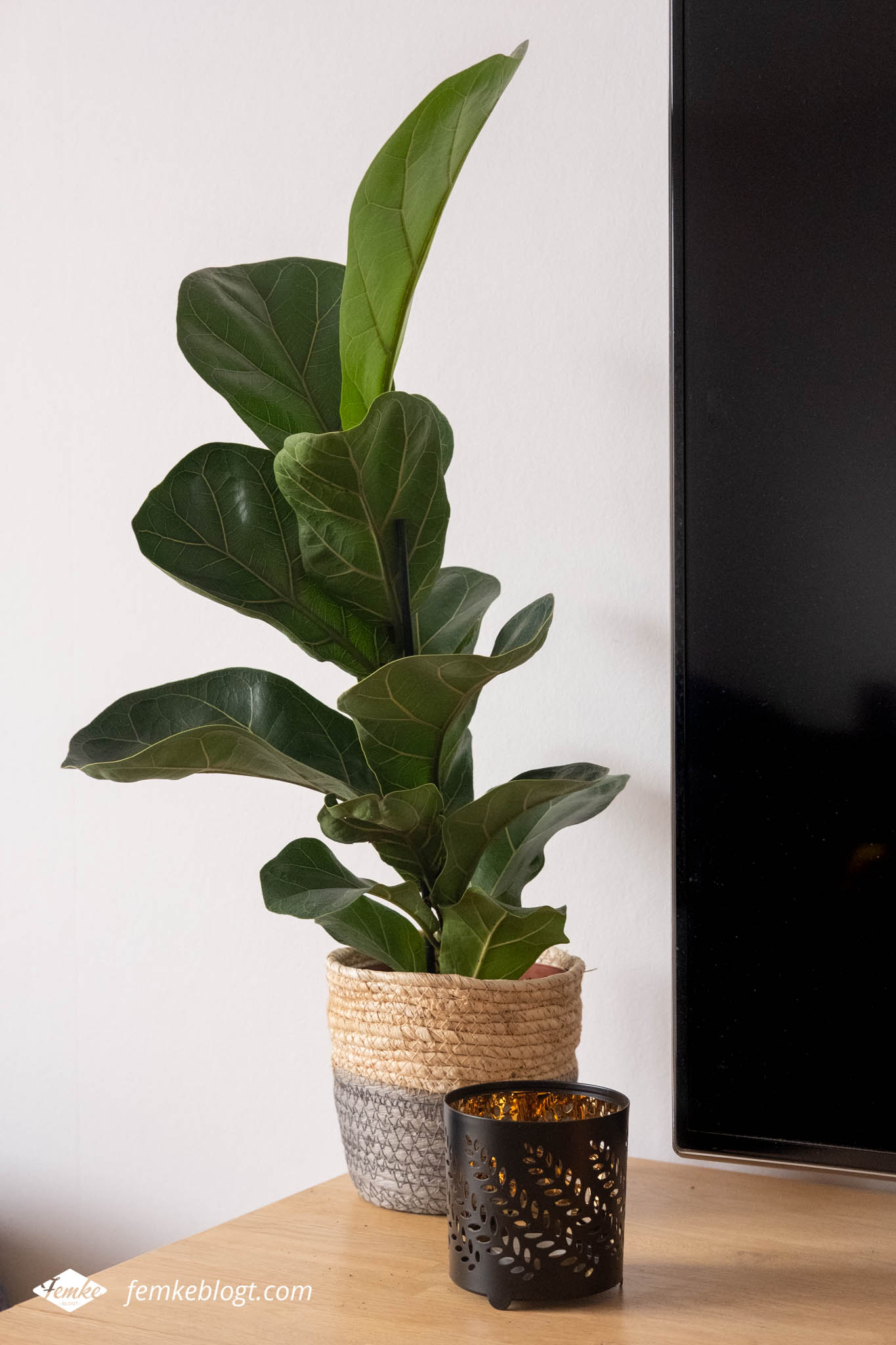 Kleine planten in huis - Ficus Lyrata (vioolbladplant)