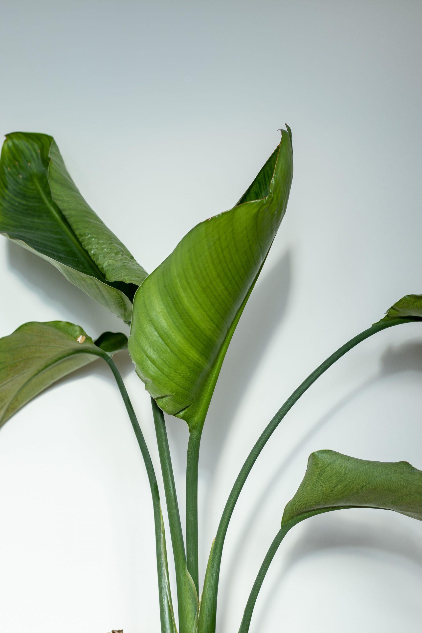 Strelitzia Nicolai (paradijsvogelplant)